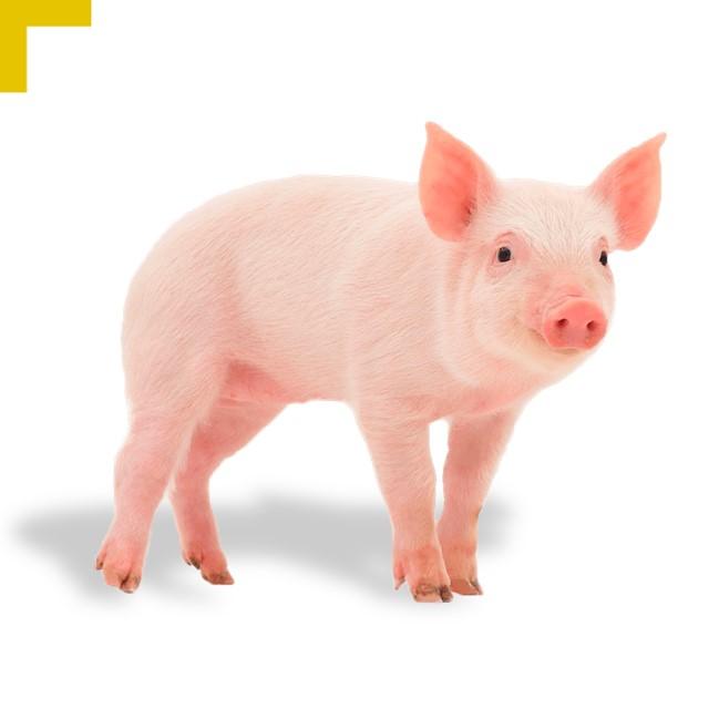 Piensos para Porcino